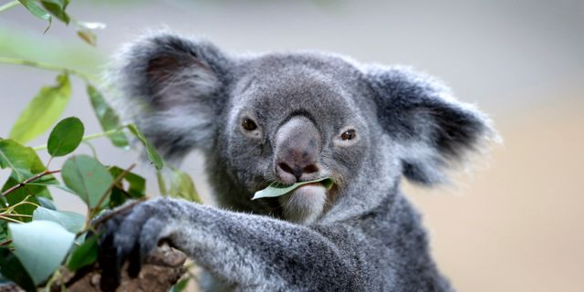 Koala. Illustrationsbild. Wong Maye-E / TT NYHETSBYRÅN
