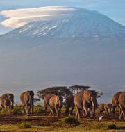 Kilimanjaros glaciärtäckta topp.  Ben Curtis / TT NYHETSBYRÅN