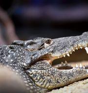 En av krokodilerna på Skansenakvariet. Karin Wesslen/TT / TT NYHETSBYRÅN