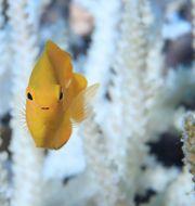 Värst drabbade områden visas som röda prickar/Fisk simmar framför blekta koraller vid Stora barriärrevet (arkivfoto) ARC Centre for Excellence in Coral Reef Studies/TT