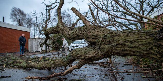 Omkullblåst träd i Malmö på söndagen. Johan Nilsson/TT / TT NYHETSBYRÅN