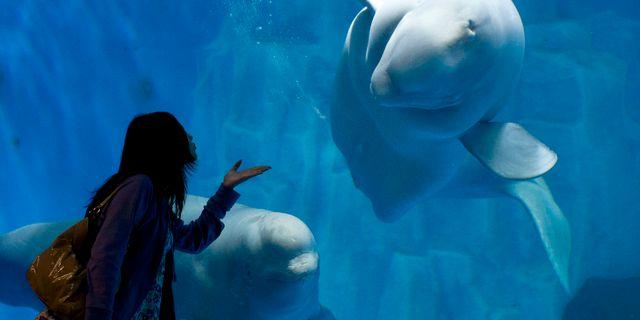 Arkivbild, ett par andra vitvalar på ett akvarium i Kina. Andy Wong / TT NYHETSBYRÅN
