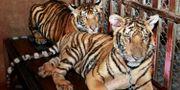 Arkivbild: Två tigrar som hittades av polisen i Thailand i samband med ett tillslag mot en grupp illegala tigerhandlare. Apichart Weerawong / TT NYHETSBYRÅN
