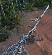 Skövling i Amazonas. Rodrigo Abd / TT NYHETSBYRÅN