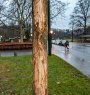 Vandaliserade träd utanför Stadsbiblioteket i Malmö.  Johan Nilsson/TT / TT NYHETSBYRÅN