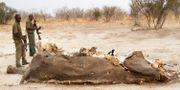 Arbetare inspekterar elefantkadaver i nationalparken Hwange. AP