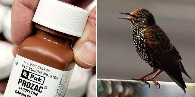 Det antidepressiva läkemedlet Prozac/En stare  TT