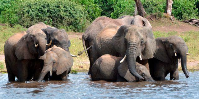 Elefanter i Chobe National Park i Botswana.  Charmaine Noronha / TT NYHETSBYRÅN