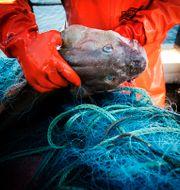 En fångad torsk. Yvonne Åsell / SvD / TT / TT NYHETSBYRÅN