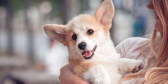 I Sydney kan flygrädda resenärer kela med hundar innan avfärd. Forskare har jämställt den positiva effekten av att klappa djur med att få en massage eller att äta god mat. Shutterstock