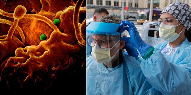 Coronaviruset i ett elekronmikroskop/ sjuksköterska hjälper sin kollega med skyddsutrustning TT