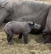 Noshörningsungen Amadi föddes den 13 november på Kolmården. Pressbild Kolmården