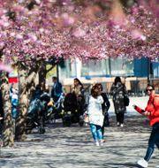 Illustrationsbild: Blommande körsbärsträd i Kungsträdgården i Stockholm.  Carl-Olof Zimmerman/TT / TT NYHETSBYRÅN