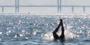 En badare dyker ner i vattnen vid Västra hamnen i Malmö. JOHAN NILSSON / TT / TT NYHETSBYRÅN