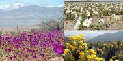 Ihärdiga regnfall har fått Atacamaöknen i Chile att blomma upp. Alamy