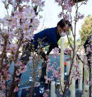 Minnesceremoni förbereds i Hibiyaparken i Tokyo. Eugene Hoshiko / TT NYHETSBYRÅN