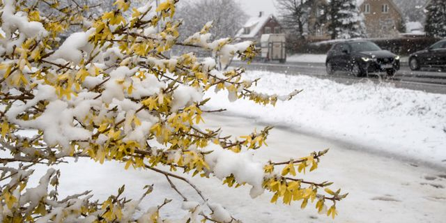 Ymnigt snöfall i Linderöd i Skåne på påskafton ifjol. Förra året slogs trippelt köldrekord på flera håll under natten mot påskafton.  Johan Nilsson/TT / TT NYHETSBYRÅN