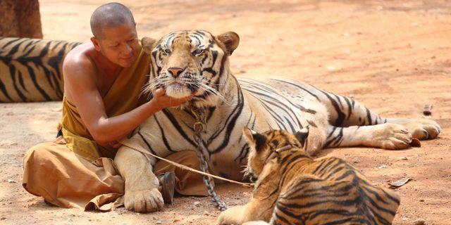 En buddhistisk munk kelar med en tiger vid templet i februari 2015. Tigrarna släpptes efter stor internationell press. Sakchai Lalit / TT NYHETSBYRÅN/ NTB Scanpix