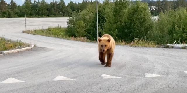 Björnen i centrala Östersund. Tobias Hising