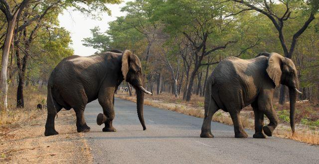Elefanter i den största nationalparken i Zimbabwe. Arkivbild. Tsvangirayi Mukwazhi / TT NYHETSBYRÅN