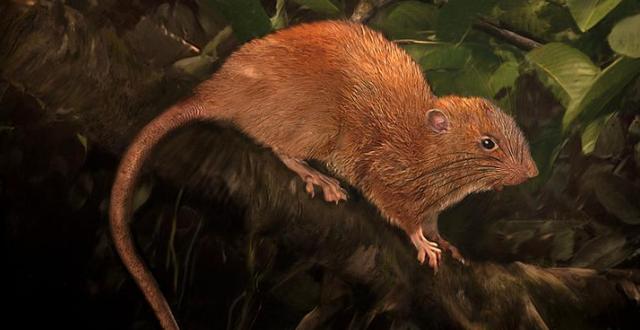 Illustration av den nya arten som kallas Uromys Vika. The Field Museum