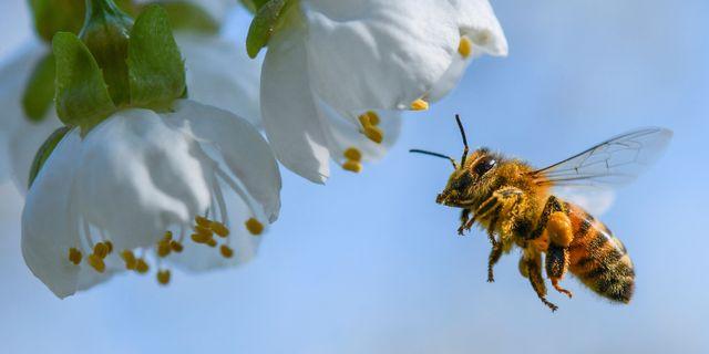 Ett honungsbi i Tyskland. Patrick Pleul / TT NYHETSBYRÅN/ NTB Scanpix