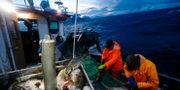 Trond Dalgård och Jan Gunnar Johansen fiskar torsk. Cornelius Poppe / TT NYHETSBYRÅN