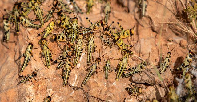 Gräshoppor i Afrika. Ben Curtis / TT NYHETSBYRÅN