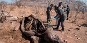 Dna-prov tas på döda noshörningar i Kruger nationalpark. Arkivbild. WIKUS DE WET / AFP