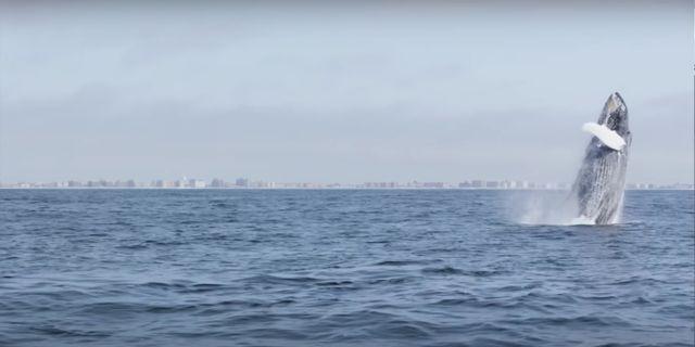 Valar i vattnet utanför Manhattan. Youtube