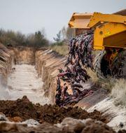 Döda minkar lastas ner i jorden i Holstebro i november. Morten Stricker / TT NYHETSBYRÅN