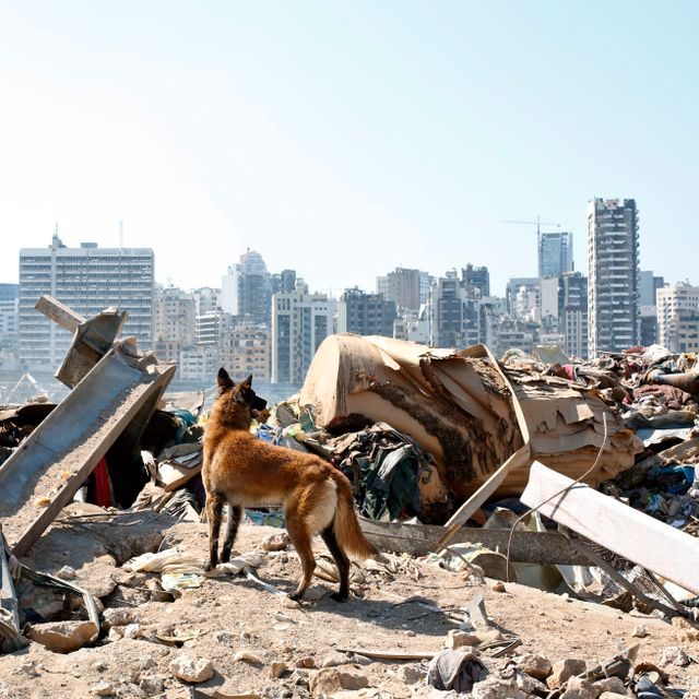 A dog of the French rescue team searches for survivors at the scene of this week's massive explosion in the port of Beirut, Lebanon, Friday, Aug. 7, 2020. Thibault Camus / TT NYHETSBYRÅN