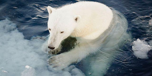 Isbjörn på Svalbard. Nick Cobbing / Norsk Polarinstitutt / TT NYHETSBYRÅN