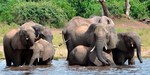 Arkivbild, elefanter i Botswana. Charmaine Noronha / TT NYHETSBYRÅN