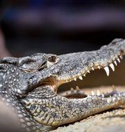 Krokodil på Skansenakvariet Karin Wesslen/TT / TT NYHETSBYRÅN