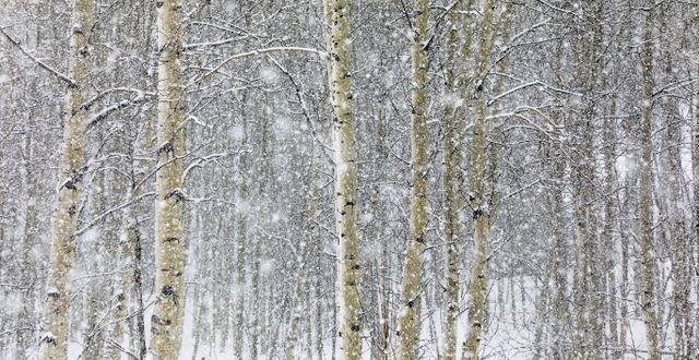 Illustrationsbil: Björkar i snö. Chris Dillmann / TT NYHETSBYRÅN