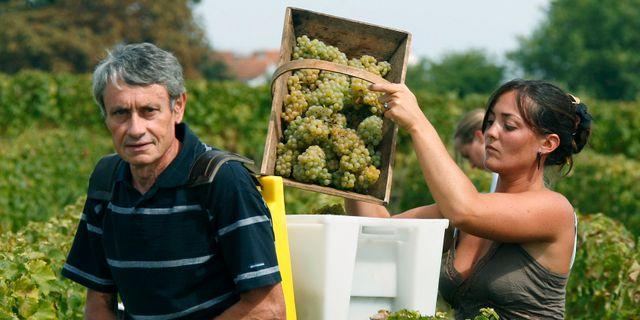 Arbetare på en vinodling nära Bordeaux.  BOB EDME / TT NYHETSBYRÅN