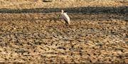 En fågel står på ett ställe där det brukade vara vatten i en nationalpark i Zimbabwe – nu är marken helt uttorkad. Tsvangirayi Mukwazhi / TT NYHETSBYRÅN