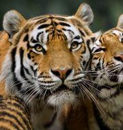 Illustrationsbild. Tigrar på Kolmården. Claudio Bresciani / TT / TT NYHETSBYRÅN