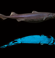 Forskarnas bilder av de självlysande hajarna  Marine Biology Laboratory, Earth and Life Institute, Université catholique de Louvain/National Institute of Water and Atmospheric Research