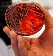 Odlingsplatta med resistenta bakterier. Poppe, Cornelius / TT NYHETSBYRÅN