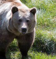 Arkivbild: Brunbjörn. Roald, Berit / TT NYHETSBYRÅN