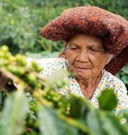 Kaffeodlare påSumatra, Indonesien. Illustrationsbild. Shutterstock