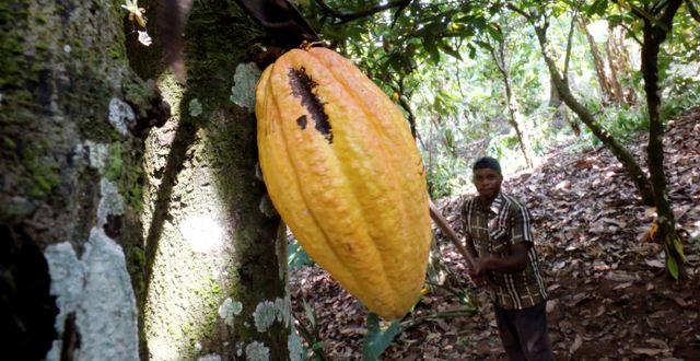Illustrationsbild. En kakaoodlare i Elfenbenskusten skär ner en kakaofrukt. THIERRY GOUEGNON / TT NYHETSBYRÅN