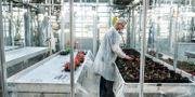 En forskare sätter tomatplantor i ett växthus som tillhör Wageningen Univeristy & Research (WUR) som är världsledande vad gäller jordbruksforskning. Magnus Hjalmarson Neideman/SvD/TT / TT NYHETSBYRÅN