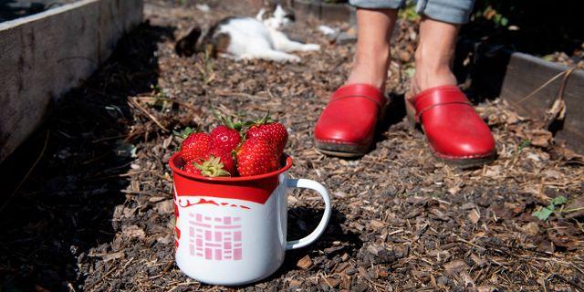 Nyplockade jordgubbar. Jessica Gow/TT / TT NYHETSBYRÅN