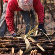 People are harvesting sugar cane for sale to sugar factories Shutterstock