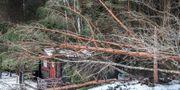 Nedfallna träd i Roslagen efter stormen Alfrida. Arkivbild. Tomas Oneborg/SvD/TT / TT NYHETSBYRÅN