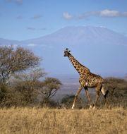 In this photo taken Thursday, Aug. 18, 2016, a giraffe walks across the savannah in Amboseli national park, Kenya, as the highest mountain in Africa Mount Kilimanjaro in Tanzania is seen in the background. Khaled Kazziha / TT NYHETSBYRÅN