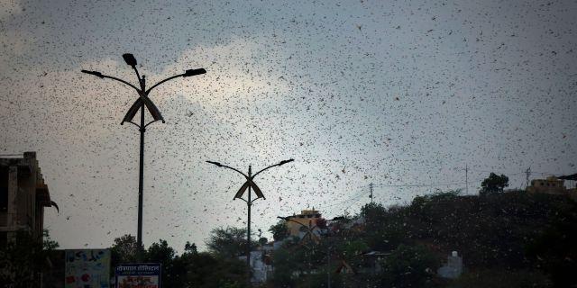 Gräshoppor i Rajasthan, 10 maj. Deepak Sharma / TT NYHETSBYRÅN